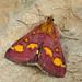 Pyrausta purpuralis.