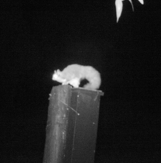 Squirrel Glider in Turq nest boxS B