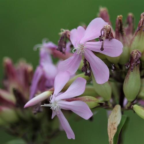 Saponaria - Saponaria officinalis - saponaire officinale 44641247332_b3c6708f3e