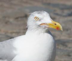 Sea Gulls at Veere (12)