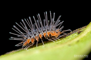 Spiky woodlouse (Calmanesia sp.) - DSC_1226