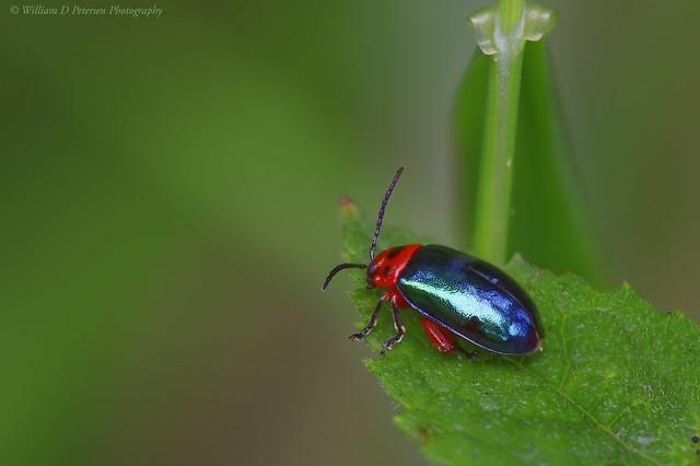 Flea Beetle-Kuschelina gibbitarsa, Nikon D810, AF Micro-Nikkor 200mm f/4D IF-ED