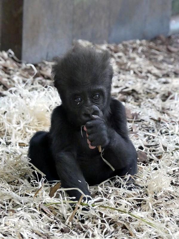 Gorillababy, Zoo Givskud