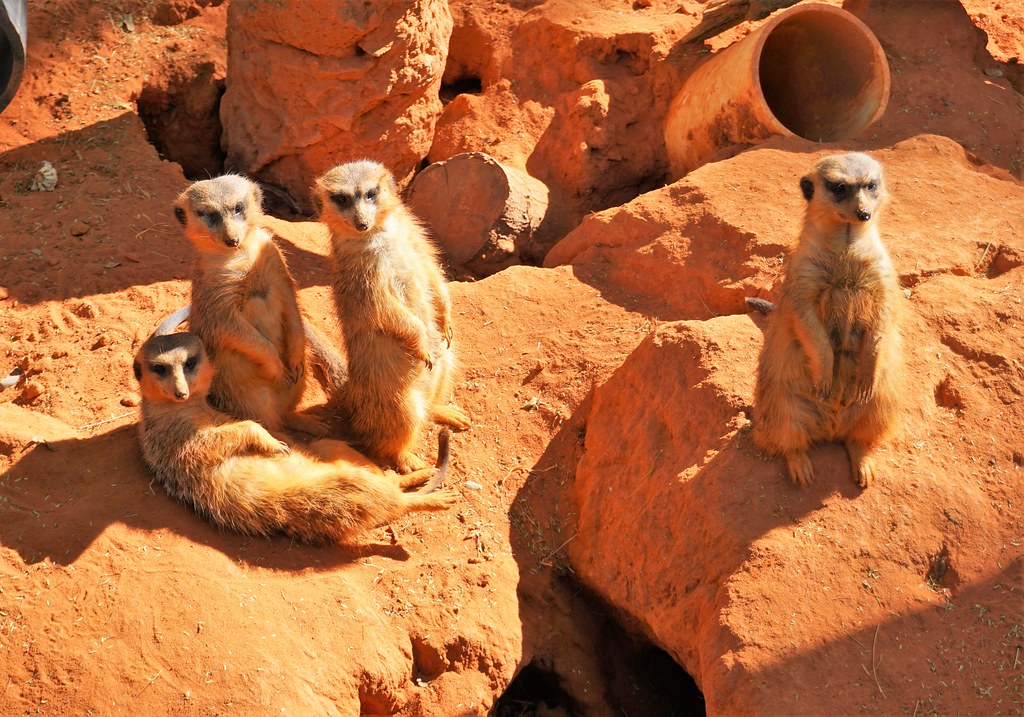 Meerkats at Busch Gardens Tampa Bay, Fla., Dec. 2016