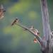 Barn Swallows by TheGreenHeron