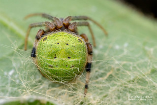 Orb weaver spider (cf. Araneus sp.) - DSC_0280