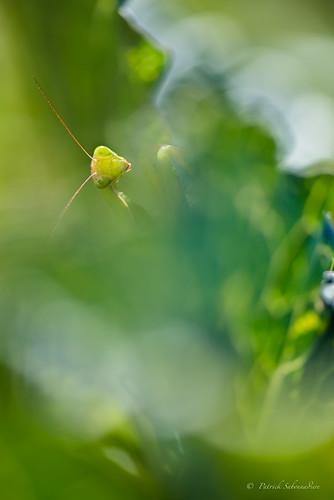 Mante religieuse femelle -Mantis religiosa