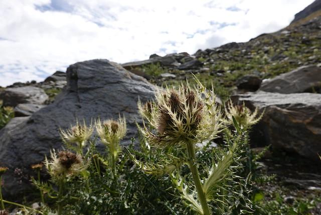 Odd thistles plant