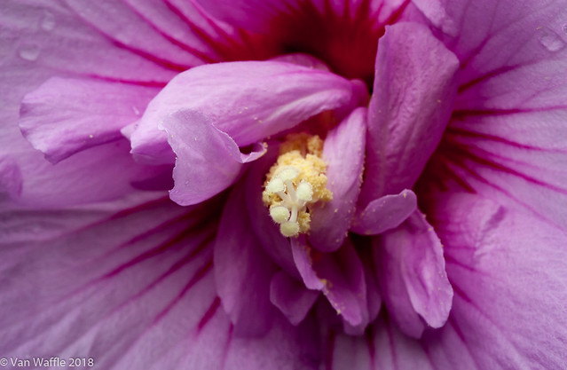 Rose of sharon, Hibiscus syriacus