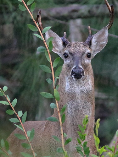 White-tailed Deer buck 01-20180904