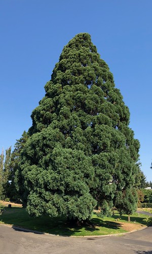 Giant sequoia #1 at Evergreen Washelli Memorial Park