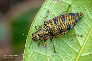 Jewel beetle (Polybothris zivettoides) - DSC_2597