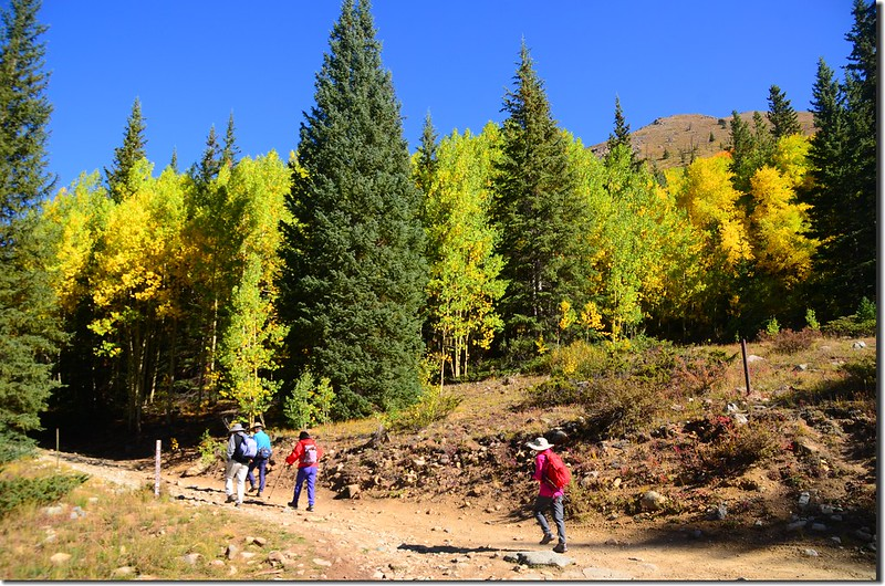 Aspen trees in autumn,  Chihuahua Gulch Trail (2)