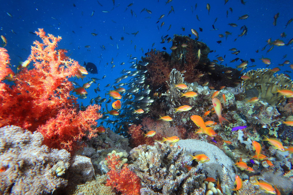 Busy Red Sea Coral Reef