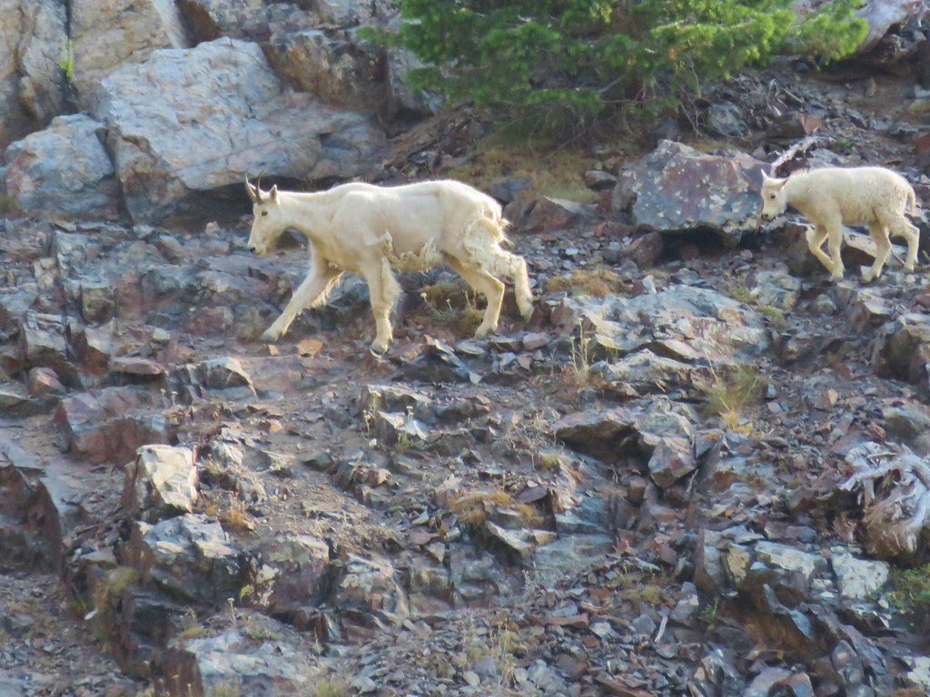 Mountain goats across Lower Twin Lake