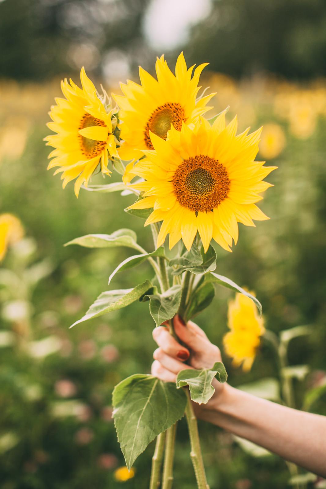 sunflower field-20