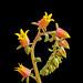 Echeveria elegans