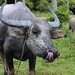 Water buffalo sticking his tongue out to clean its nose by B℮n