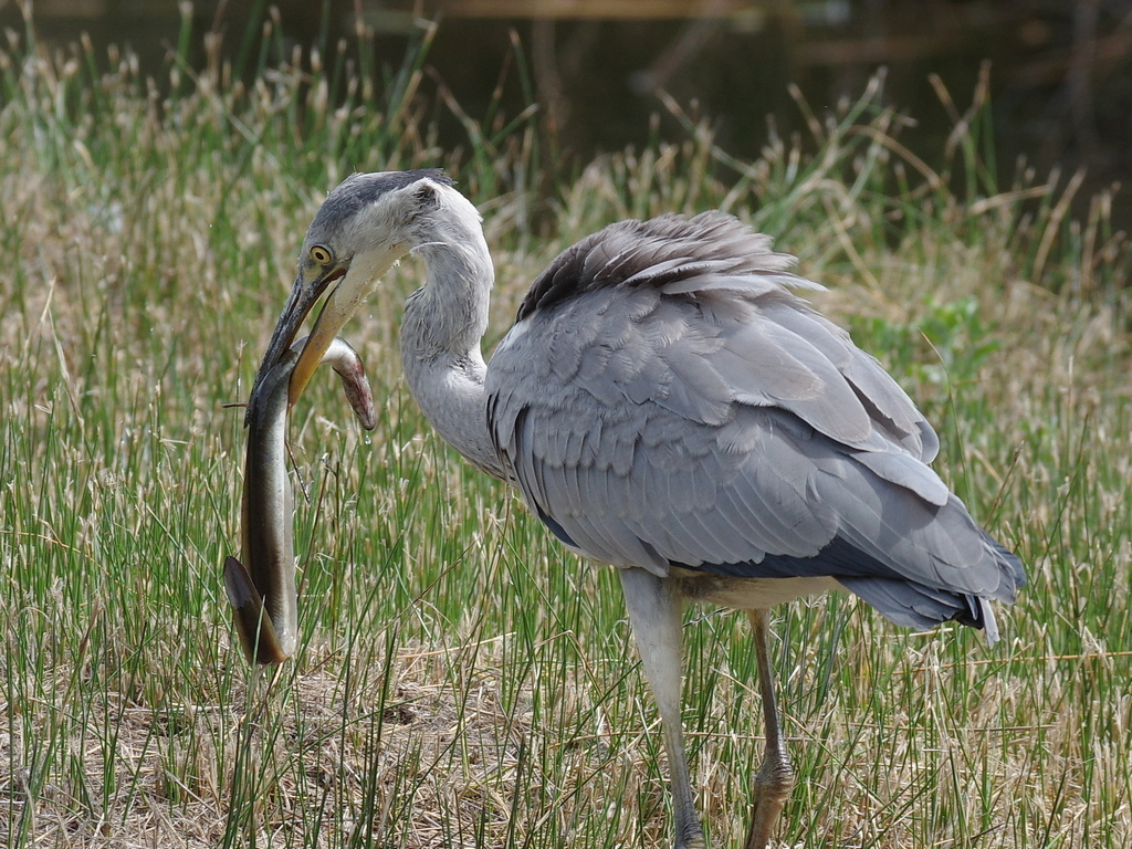 Sortie à la réserve ornithologique du Teich - 24 août 2018 - Page 5 44383086332_23510ea420_o
