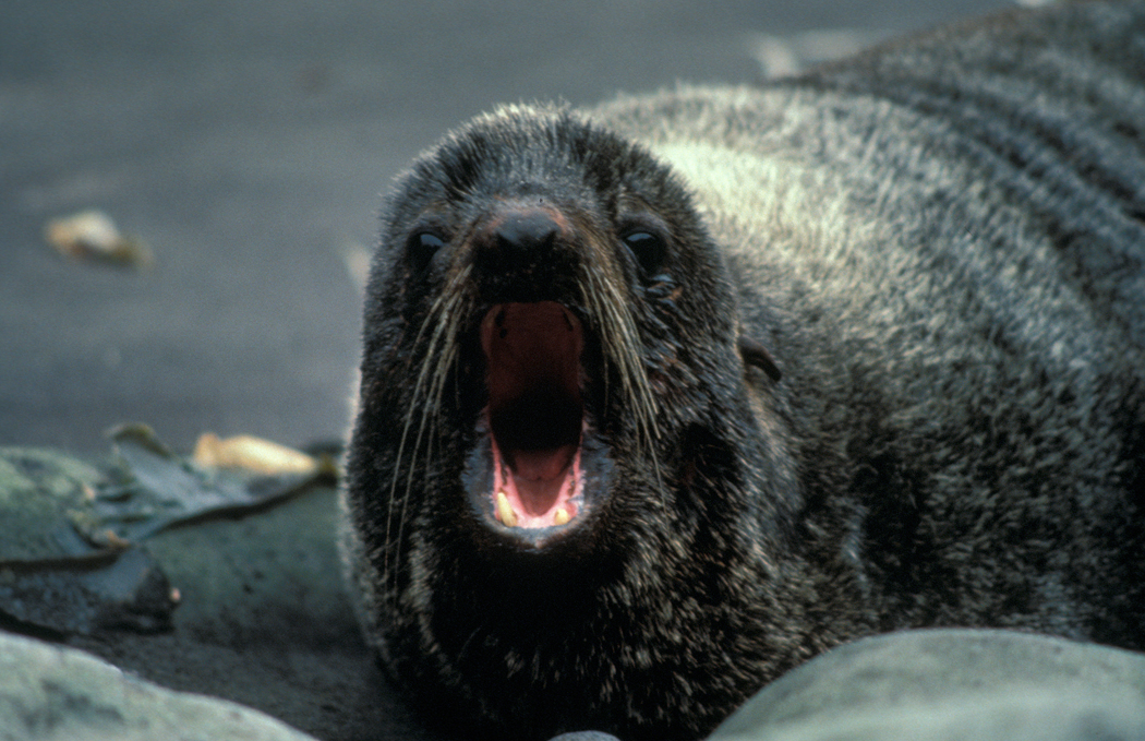 Northern fur seal at the Alaska Maritime National Wildlife Refuge.