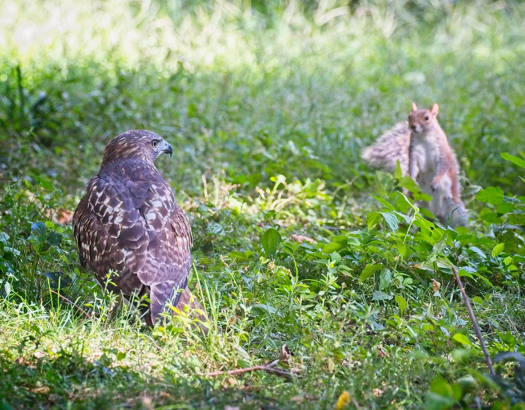 Red-tail and squirrel