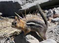 Well-fed ground squirrel