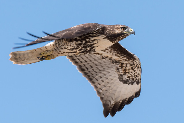 DSC 2038.jpg Red-tailed Hawk, Nikon D500, AF-S Nikkor 200-500mm f/5.6E ED VR