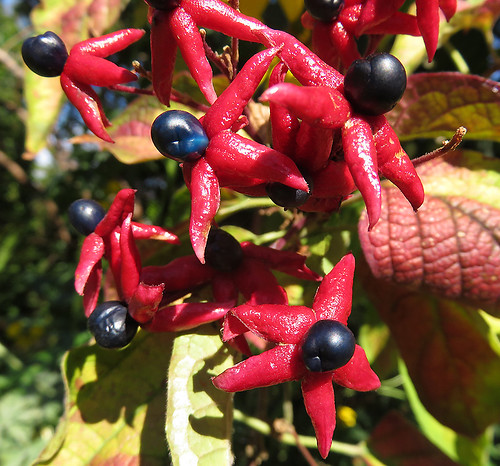 The fleshy colourful star-anise-like seeds of the Clerodendron aka Glory Bower