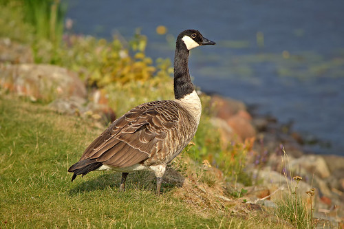 The Canada goose. Summer. Finland, Lake Päijänne.