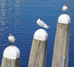 Sea Gulls at Veere (3)
