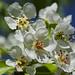Apfelblüte im Schwarzwald