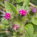 Roadside Wildflower - Burdock