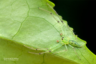 Green crab spider (Oxytate sp.) - DSC_2038
