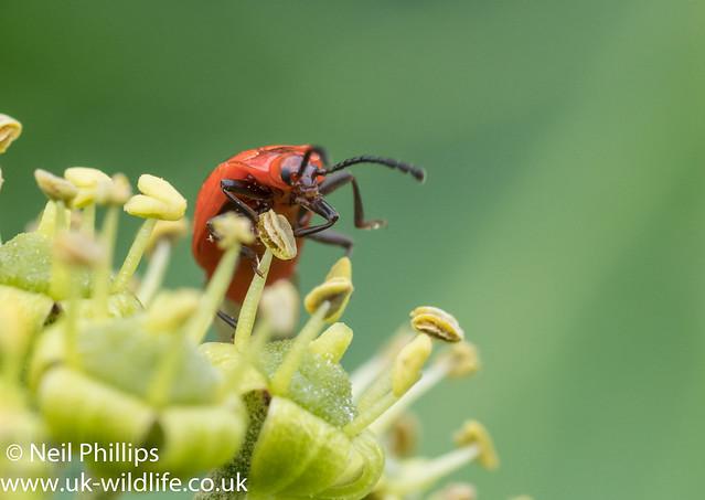 False Ladybird - Endomychus coccineus-6