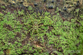 Green wandering spider (Viridasiidae) - DSC_9827