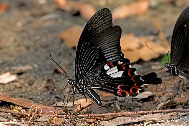 Papilio helenus - the Red Helen