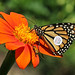 Tagged Monarch On Mexican Sunflower by Vidterry