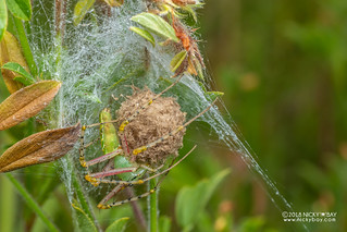 Green lynx spider (Peucetia sp.) - DSC_0151