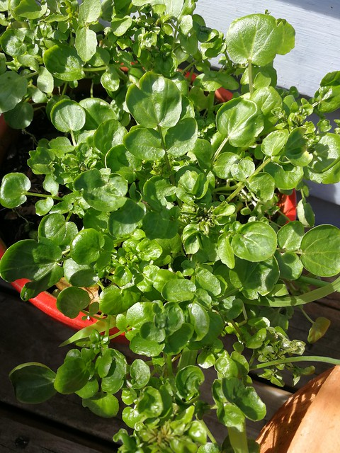 watercress seeds belonging to shiny