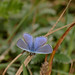 Common blue by yvonnepay615