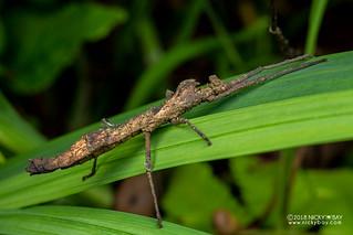 Stick insect (Pseudodatames sp.) - DSC_1774