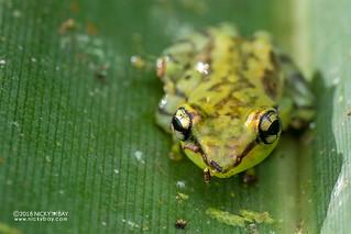 Tsarafidy Madagascar Frog (Guibemantis pulcher) - DSC_9472