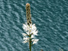 NP Aigüestortes i Estany de Sant Maurici, asfodel bílý (Asphodelus albus), foto: Petr Nejedlý