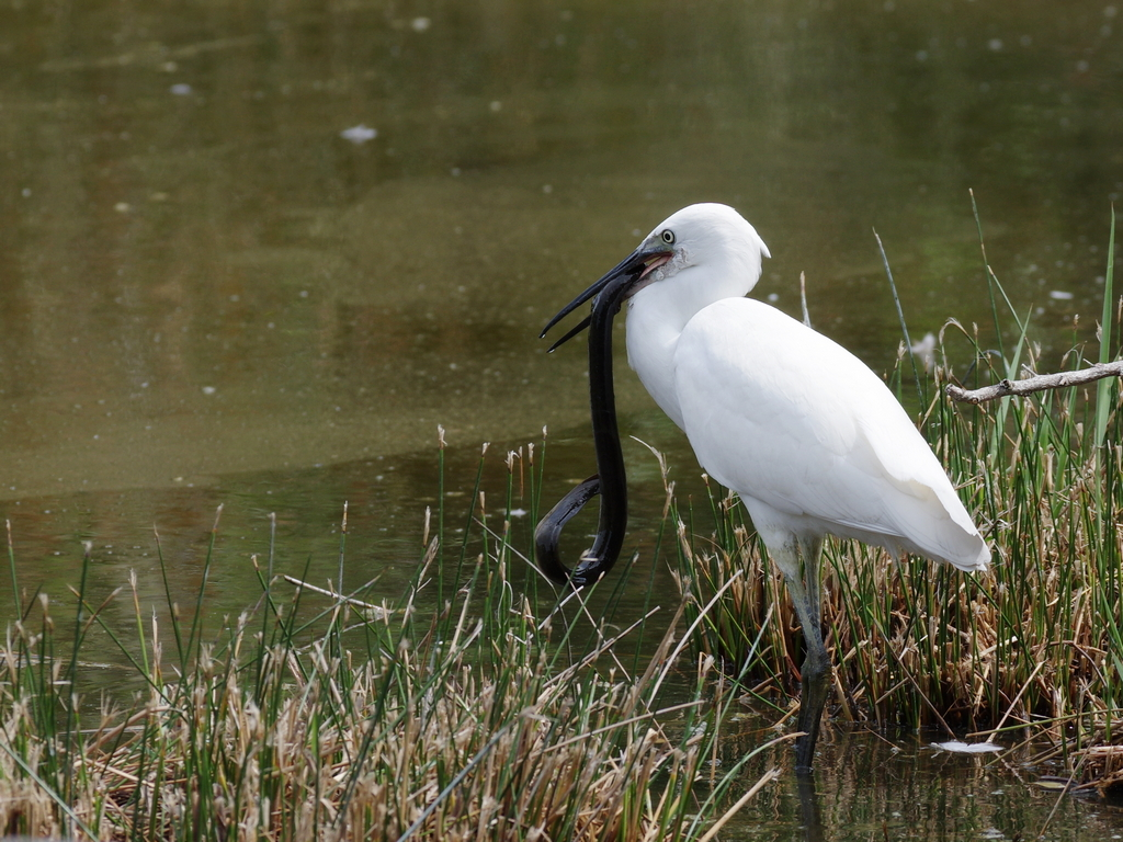 Sortie à la réserve ornithologique du Teich - 24 août 2018 - Page 2 44329597721_f69a3f8798_o