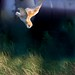 Barn Owl steep dive (Medium)