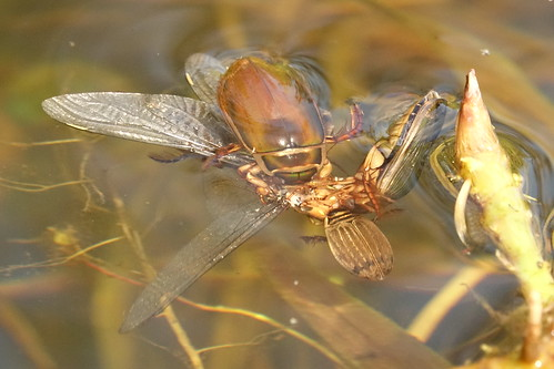 Water beetles devouring dragonfly