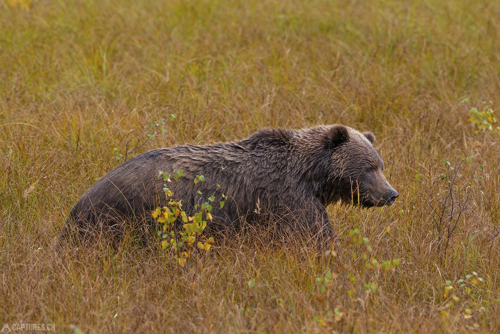 Grizzly in the gras - Alaska
