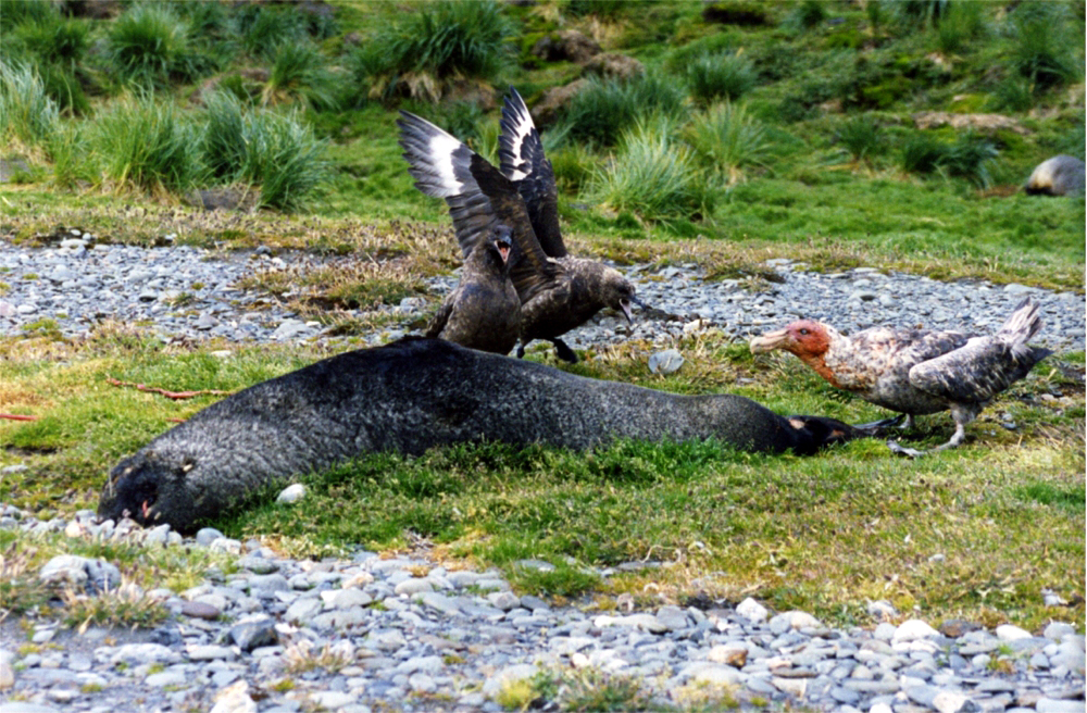 Two brown skuas and a giant petrel are arguing over dead fur seal at South Georgia Island.