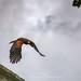 The Swooping Harris's Hawk.