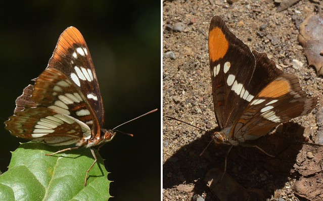 Admiral and Sister butterflies